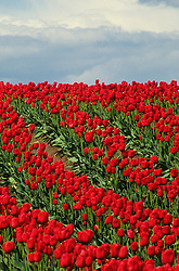 North America, USA, Washington, Skagit Valley. Field of red tulips
