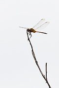 perched dragonfly, Manglares Churute