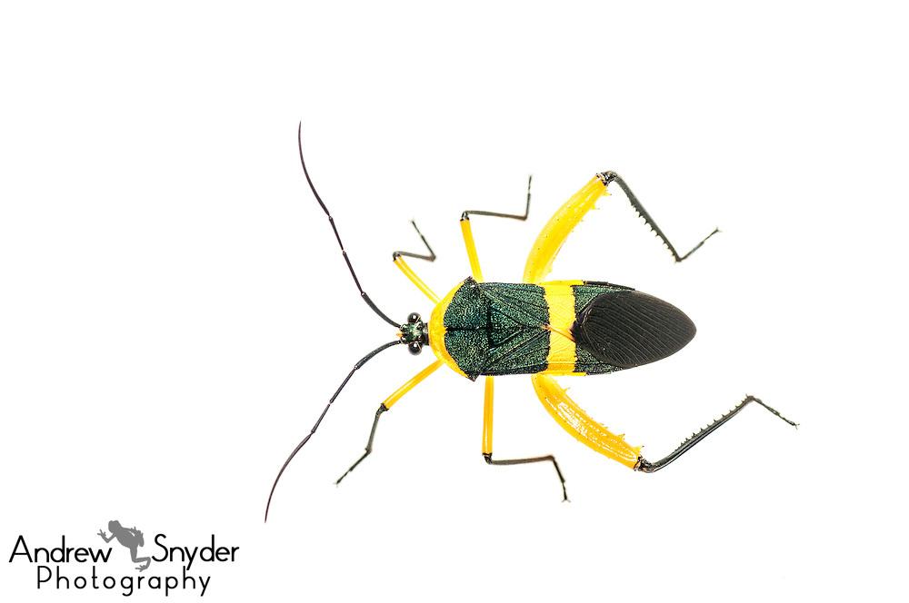 Leaf footed bug (Coreidae) -Iwokrama, Guyana