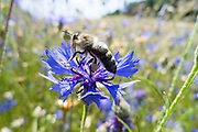 Kornblume mit Biene, Odenwald, Hessen, Deutschland | Cornflower with bee, Odenwald, Hesse, Germany