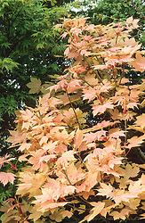 The new young foliage colour of Acer pseudoplatanus 'Brilliantissimum'<br /> AGM in spring. Sycamore