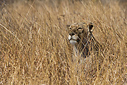 Lioness (Panthera leo)<br /> Marakele Private Reserve, Waterberg Biosphere Reserve<br /> Limpopo Province<br /> SOUTH AFRICA