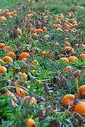 ripe orang pumpkins in Pumpkin field. Pumpkins (Cucurbita sp.) growing in a field. These plants produce large edible fruits. Photographed in Neustift, Stubaital, Tyrol, Austria in September