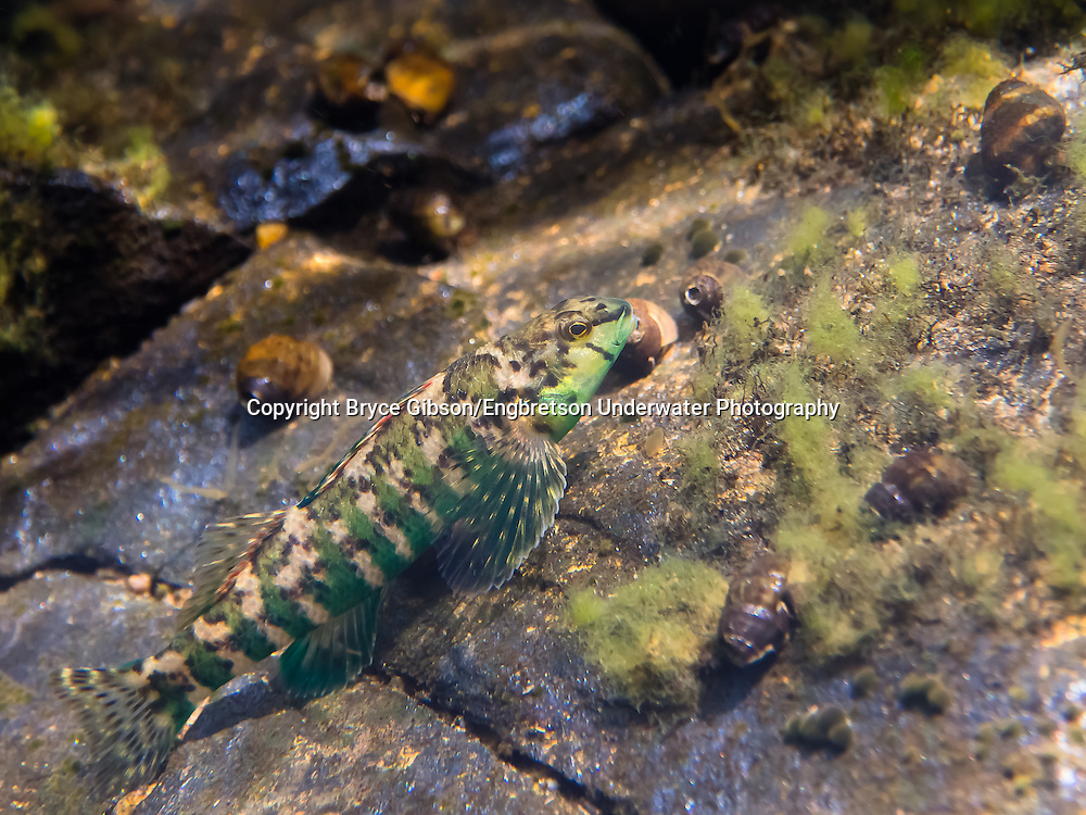 Banded Darter<br /> <br /> Bryce Gibson/Engbretson Underwater Photography