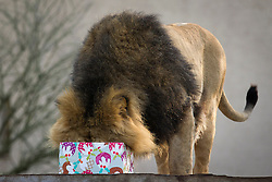 © Licensed to London News Pictures. 12/12/2012. London, UK. Lucifer, the head of London Zoo's Asian lion pride, buries his head in a meat laden Christmas present left by a keeper as an early festive treat in London today (12/12/12). Photo credit: Matt Cetti-Roberts/LNP