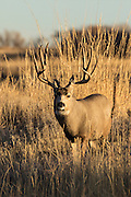 Mule deer buck  during the rut Mule deer buck during the autumn rut