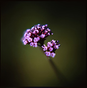 Verbena, Suffolk, 2010