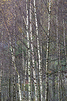 Rydal Water, Cumbria Autumn foliage of Silver birch trees showing white trunks. Rydal Water, Cumbria