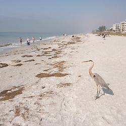 A great blue heron, Ardea herodias, on the beach in Indian Rocks Beach, Florida.