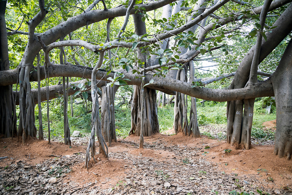 """THIMMAMMA MARRIMANU, INDIA - 2nd November 2019 - Thimmamma Marrimanu is the world's largest single tree canopy. With more than 4000 roots, the banyan tree (Ficus benghalensis) was first added to the Guinness Book of World Records in 1989 (its entry updated in 2017) as being 550 years old and having the """"greatest perimeter length for a tree"""", spreading over five acres with a circumference of 846m. Andhra Pradesh, South India."""