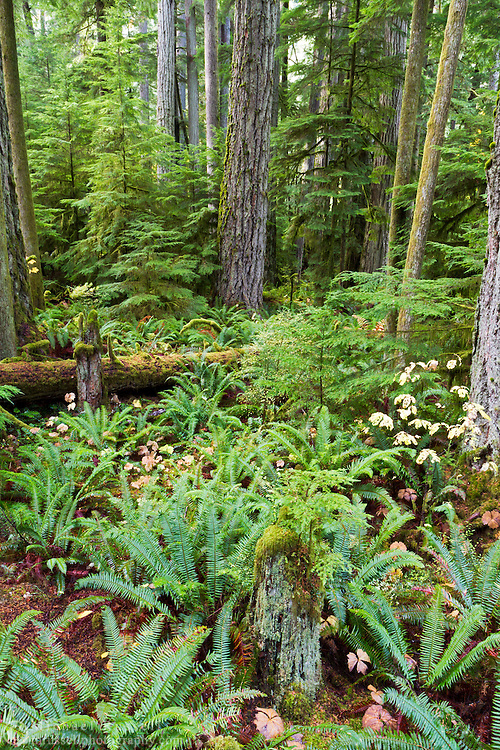 The forest at Cathedral Grove in Macmillan Provincial Park near Port Alberni, British Columbia, Canada in Macmillan Provincial Park near Port Alberni, British Columbia, Canada