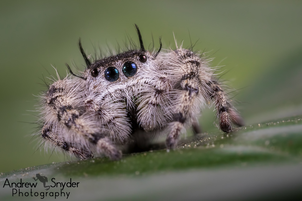 A cute little jumping spider - Oxford, Mississippi