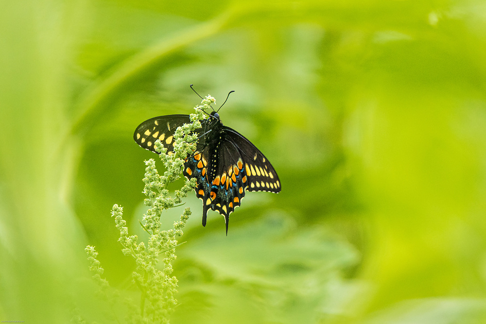 Swallowtail butterfly in a swirl of green