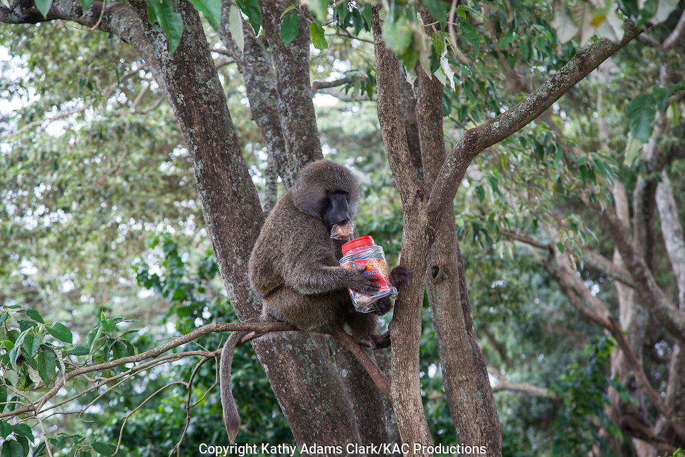 Olive baboon with a jar of Golden High Fiber Digestive cookies in a tree in  Tanzania, Africa.