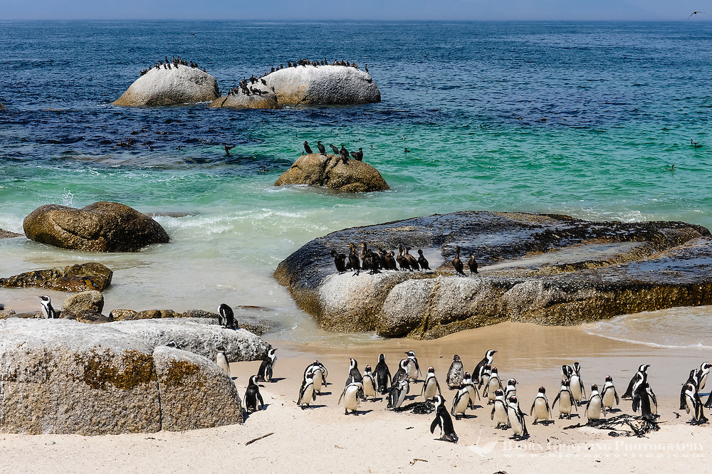 Boulders Beach near Cape Town in South Africa has a colony of African Penguins which settled there in 1982.
