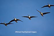00748-05402 Canada geese (Branta canadensis) in flight, Riverlands Migratory Bird Sanctuary, MO
