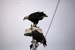 USA ALASKA BERING SEA 4AUG12 - A bald eagle feasts on a seabird atop the Esperanza's foremast near Dutch Harbor, Unalaska, Alaska.....Photo by Jiri Rezac / Greenpeace....© Jiri Rezac / Greenpeace