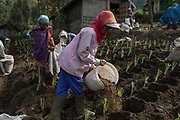 Workers scatter chicken manure to newly planted scallion in Cemoro Lawang village of Bromo, Probolinggo, East Java, 2017.