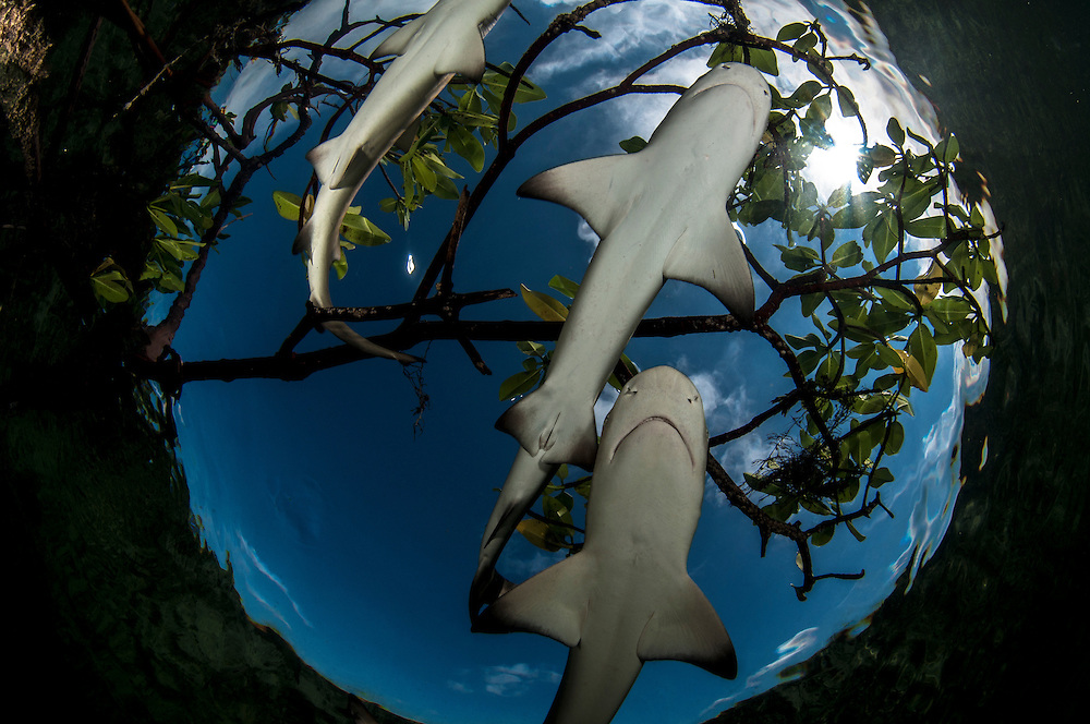 Baby lemon sharks have been shown to exhibit distinct, individual personalities. Some even form friendships. Lemon sharks depend on mangroves for the survival of the first 5-8 years of their lives. Mangroves are disappearing throughout the world and the fate of the lemon shark is left in the balance. We need to get proper protections for the world's mangroves and then enforce them.
