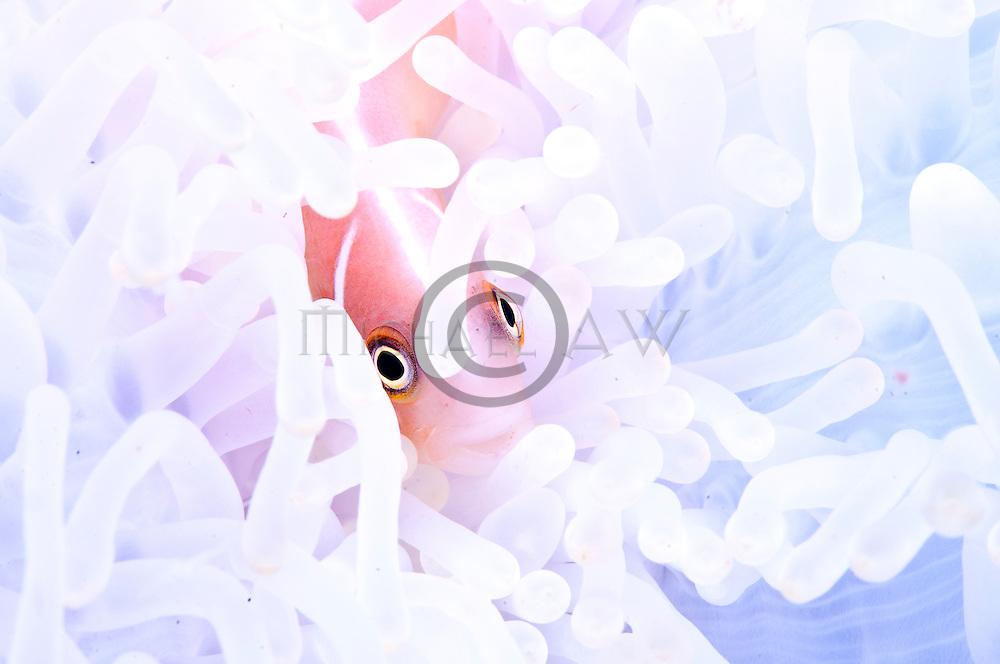 East Indonesia, Raja Ampat, Amphirion perideraion living with white anemone