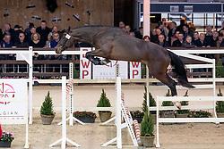 004, Qasillas-B van de Zwartbleshoeve<br /> Hengstenkeuring BWP - Lier 2019<br /> © Hippo Foto - Dirk Caremans<br /> 18/01/2019
