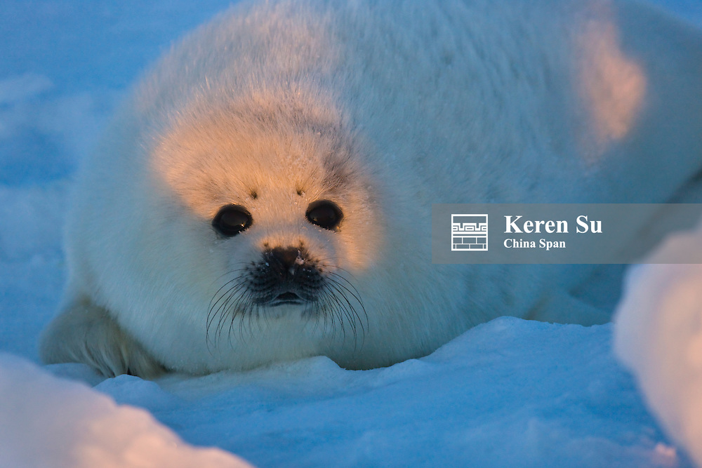 Harp seal pup on ice, Iles de la Madeleine, Quebec, Canada
