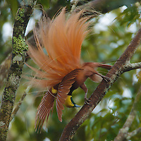 Raggiana Bird of Paradise (Paradisaea raggiana)<br />