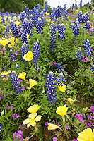 Bluebonnet, Evening Primrose and Pointed Phlox, Gillespie County