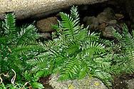 Sea Spleenwort - Asplenium maritimum