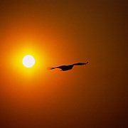 A bird of prey flys into the sunset.