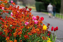 Edinburgh, Scotland, UK. 1 May 2020. Views of Edinburgh as coronavirus lockdown continues in Scotland. Streets remain deserted and shops and restaurants closed and many boarded up. Pictured; Flowers in bloom in a very quiet Princes Street Gardens.  Iain Masterton/Alamy Live News
