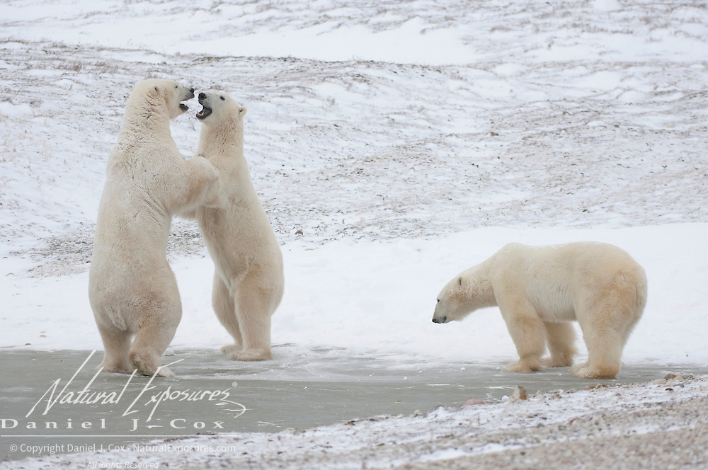 Polar Bear (Ursus maritimus) play fighting. Cape Churchill, Manitoba, Canada