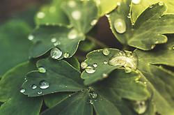 THEMENBILD - Wassertropfen auf den grünen Blättern einer Akelei (Aquilegia), aufgenommen am 21. Mai 2019, Kaprun, Österreich // Water drops on the green leaves of an Akelei (Aquilegia) on 2019/05/21, Kaprun, Austria. EXPA Pictures © 2019, PhotoCredit: EXPA/ Stefanie Oberhauser