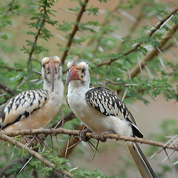 A hornbill couple sitting in a thornbush.