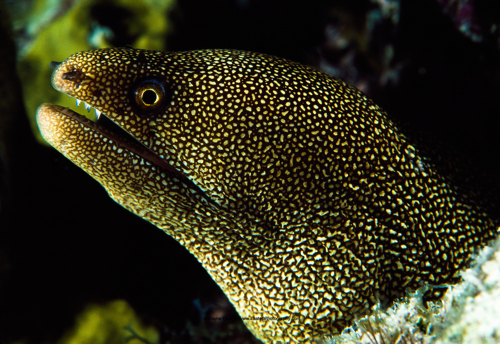 Goldentail Moray Eel (Muraena miliari). Bonaire