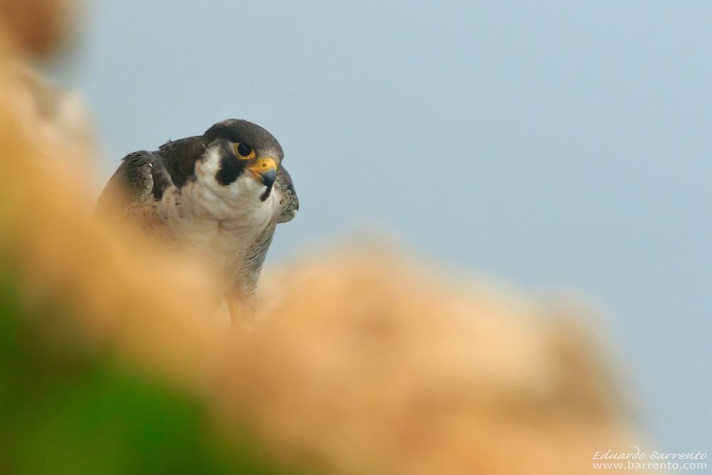 Peregrine falcon (Falco peregrinus). Bird of prey on the rocks of the escarpment on a foggy day, seen from above