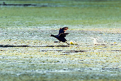 © Licensed to London News Pictures. 26/07/2018. Leeds UK. A bird runs across a thick layer of Algae that has covered the lake at Golden Acre park in Leeds this morning. Photo credit: Andrew McCaren/LNP