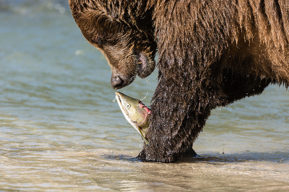 Brown bear (Ursus arctos) eating salmon at Geographic Harbor in Katmai National Park in Southwestern Alaska. Summer. Afternoon.