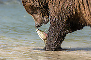 Brown bear (Ursus arctos) eating salmon at Geographic Harbor in Katmai National Park in Southwestern Alaska. Summer. Afternoon.