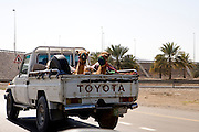 Between Muscat and Nizwa, Sultanate of Oman. .February 1st 2009..Camels in a pickup truck.