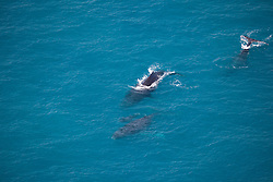Three adult Humpback whales and a calf swim off Talboys Rock north of Broome.