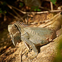 Iguana on Bonaire. Image taken with a Nikon D3s and 70-300 mm VR lens (ISO 200, 260 mm, f/8, 1/500 sec).