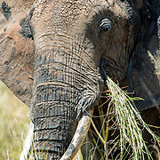 An elephant grazes on the grass at Tarangire National Park in northern Tanzania not far from Ngorongoro Crater and the Serengeti.