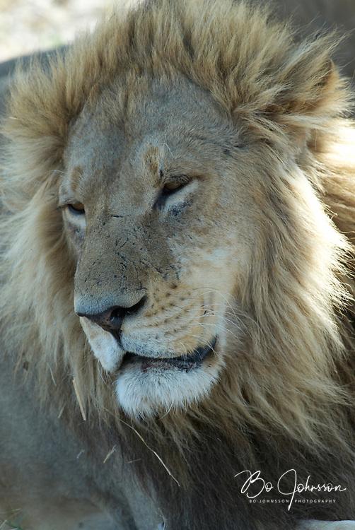 Resting male lion (Panthera leo).<br /> The Xakanaxa side of Moremi in the Okavango Delta, Botswana.<br /> September 2007.