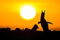 African Penguin braying at sunrise, Bird Island, Algoa Bay, Eastern Cape, South Africa
