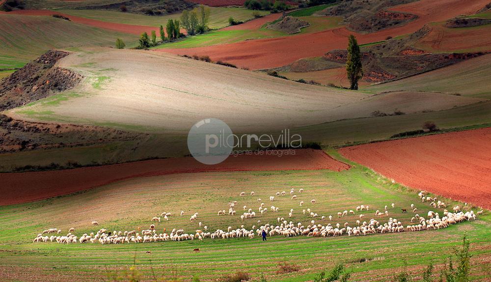 Rebaño y campo de cereal. La Rioja ©Daniel Acevedo / PILAR REVILLA