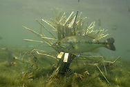 Fishiding Artificial Fish Attractors-with largemouth bass.<br />