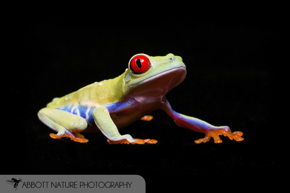 Red-Eyed Tree Frog ( Agalychnis callidryas)<br /> Captive Reared <br /> TEXAS: Travis Co.<br /> Austin<br /> 20-Jan-2014<br /> J.C. Abbott &amp; K.K. Abbott