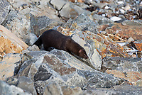 American Mink (Mustela vison) hunting on the rocks in Hulls Cove, Maine.