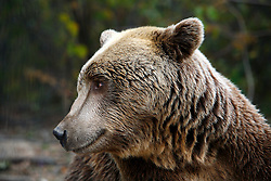 ROMANIA ZARNESTI 25OCT12 - A Eurasian brown bear takes a rest inside enclosure 1 at the Zarnesti Bear Sanctuary in Romania, funded by WSPA.....With over 160 acres (70 hectares) spread over a wooded hillside, it is Romania's first bear sanctuary and today houses 67 bears rescued from ramshackle zoos and cages at roadside restaurants.....jre/Photo by Jiri Rezac / WSPA....© Jiri Rezac 2012